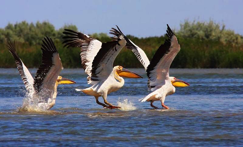 Пелікани Дунайського заповіднику